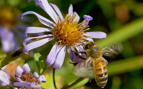 By USFWS - Pacific Region - aster_subspicatus, Public Domain, https://commons.wikimedia.org/w/index.php?curid=50680028