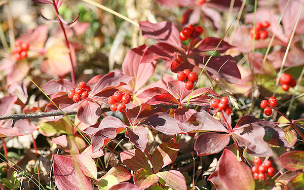 By Arthur Chapman - originally posted to Flickr as Cornus canadensis (Dwarf Dogwood, Bunchberry, Canadian Dwarf Cornel), CC BY 2.0 https://commons.wikimedia.org/w/index.php?curid=8629100