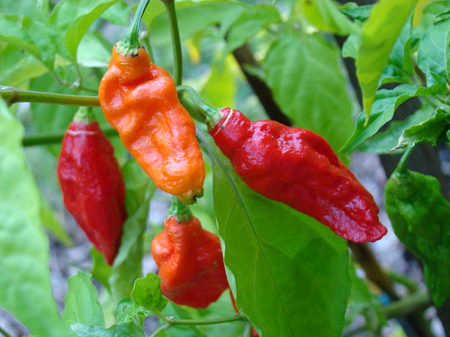 Ghost - Bhut Jolokia Red