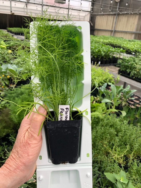 Florence Fennel in Shipping Shell