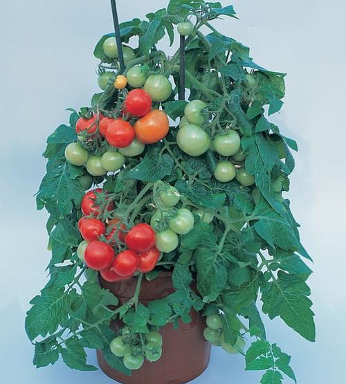 Tomato Totem
