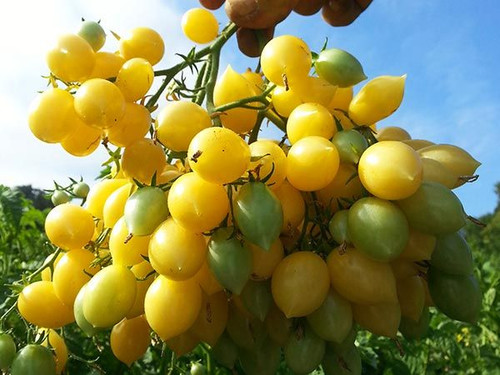 Barry' crazy Tomato, Yellow cherry tomato
