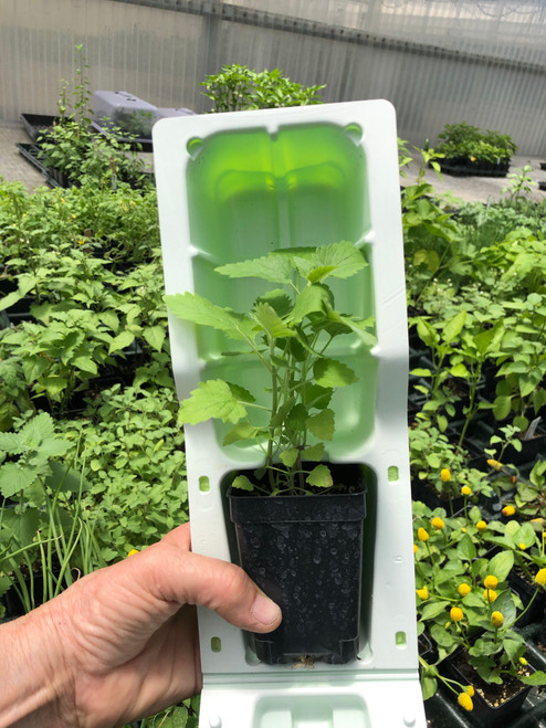Catnip plant in shipping clamshell