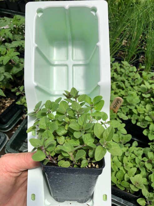 Greek Oregano plant in shipping clamshell