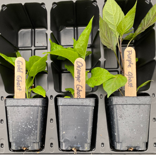 """Gold, Purple and Orange Ghost pepper plants growing in 3"""" pots in shipping clamshell."""