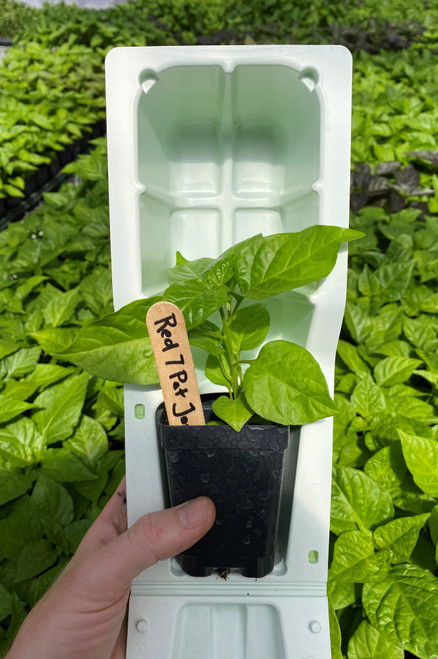 "Super hot pepper plant 7 Pot Jonah Red in 3"" pot with clam shell packaging for shipping"