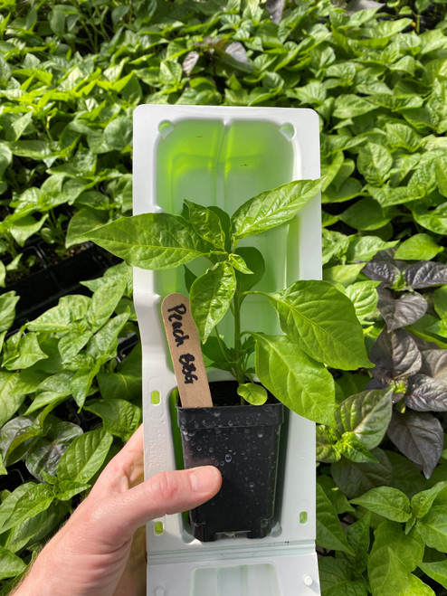 "Peach Bubblegum super hot pepper plant in a 3"" pot in clam shell packaging for shipping"