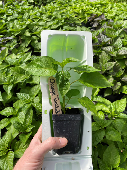 Orange Trinidad Scorpion pepper plant in shipping clamshell