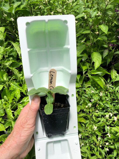 Lemon Cucumber plant in shipping clamshell