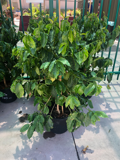 5 Gallon Catimor Brasileno Coffee Plant *Curbside Pick-up Only*
