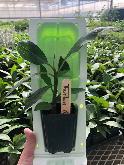 Plumeria -Thorton Courtade OP Seedling