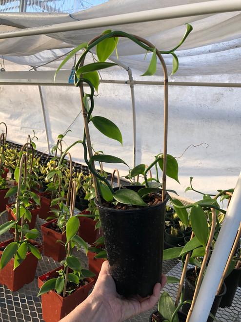 """Vanilla Bean Orchid plant on 18"""" Bamboo U Trellis"""