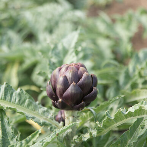 Artichoke Colorado Red Star