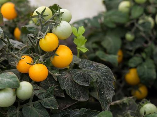 Tomato Orange Hat