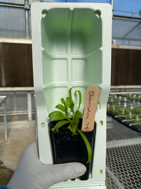 """Bloomsdale spinach in 3"""" pot."""