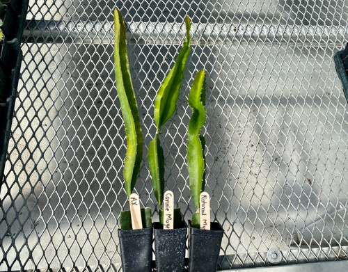 """Over 8"""" dragon fruit for curbside pick up"""