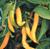 Cayenne Golden
