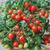 Tomato Sweet Valentine