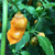 Orange Bubblegum Bhut Jolokia  seed and photo sourced from Tyler Farms