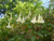 Angel's Trumpet -Brugmansia 'Double White'