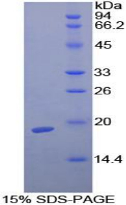 Guinea pig Recombinant Transforming Growth Factor Beta 1 (TGFb1)