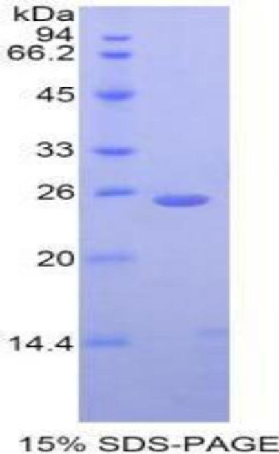 Simian Recombinant Cathepsin K (CTSK)