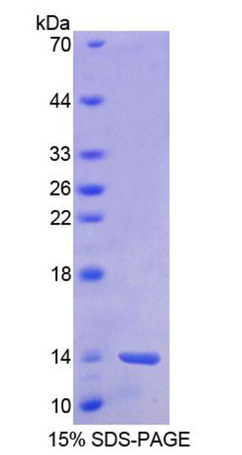 Human Recombinant Barrier To Autointegration Factor 1 (BANF1)