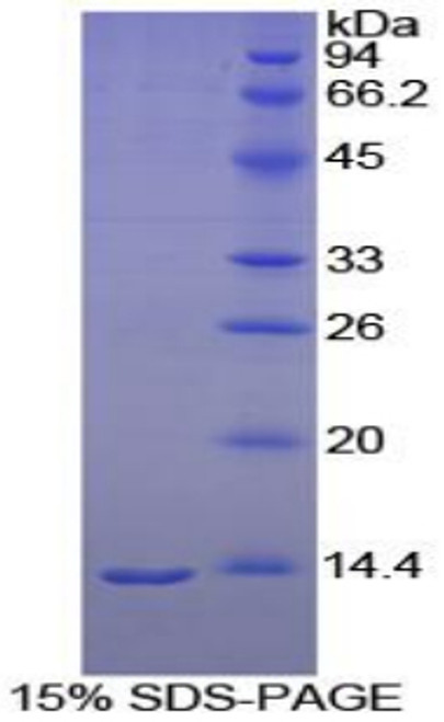 Goat Recombinant Melatonin Receptor 1A (MTNR1A)