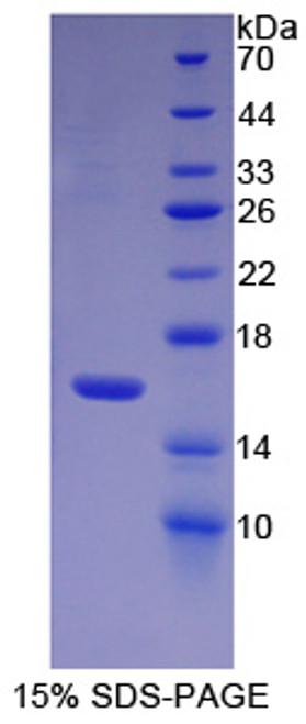 Human Recombinant Cytochrome P450 11A1 (CYP11A1)
