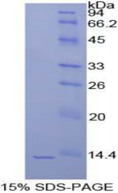 Recombinant Histone Cluster 1, H4a (HIST1H4A)