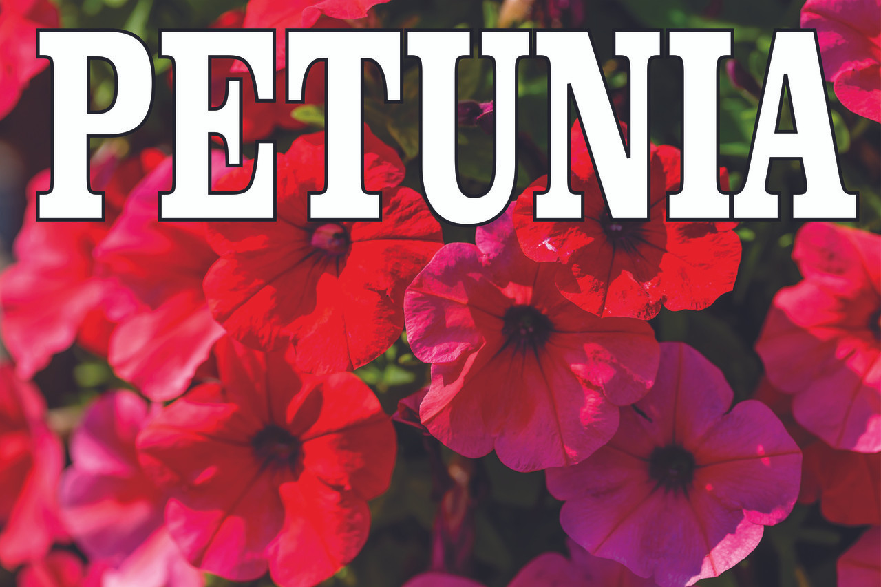 Petunia Banner is Bright & Colorful Draws Attention.