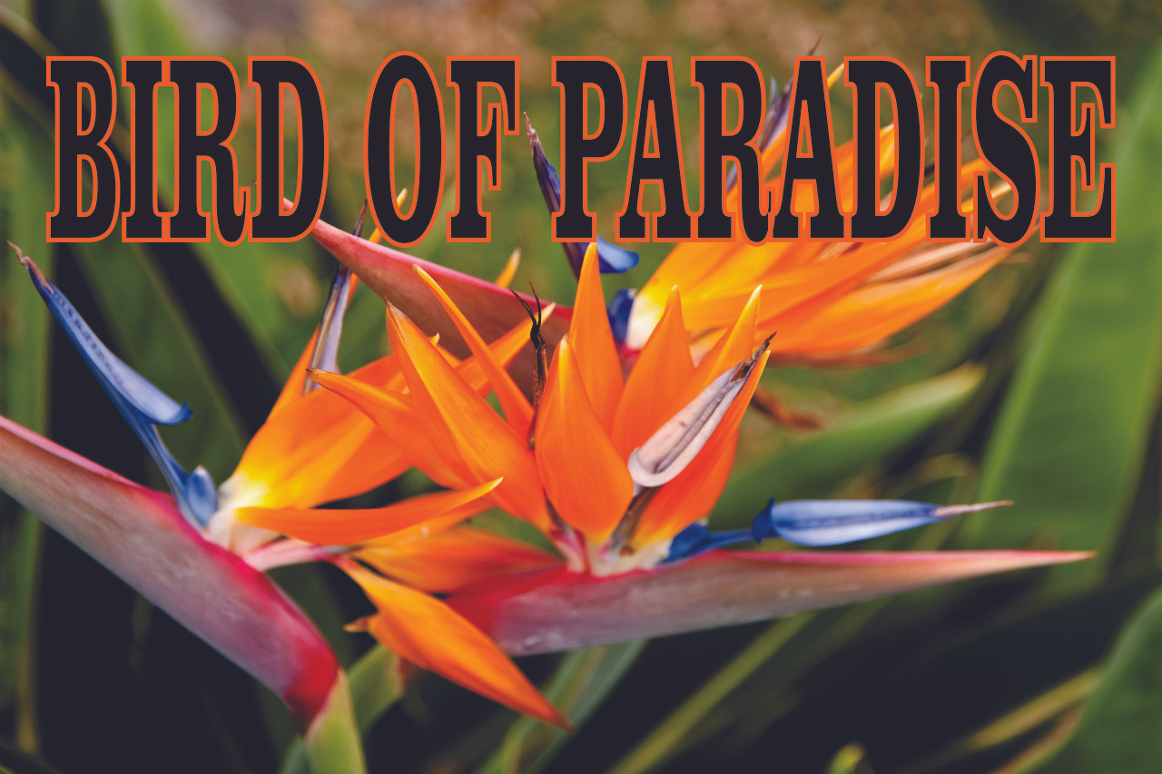 Outstanding Color on this Bird of Paradise Banner.