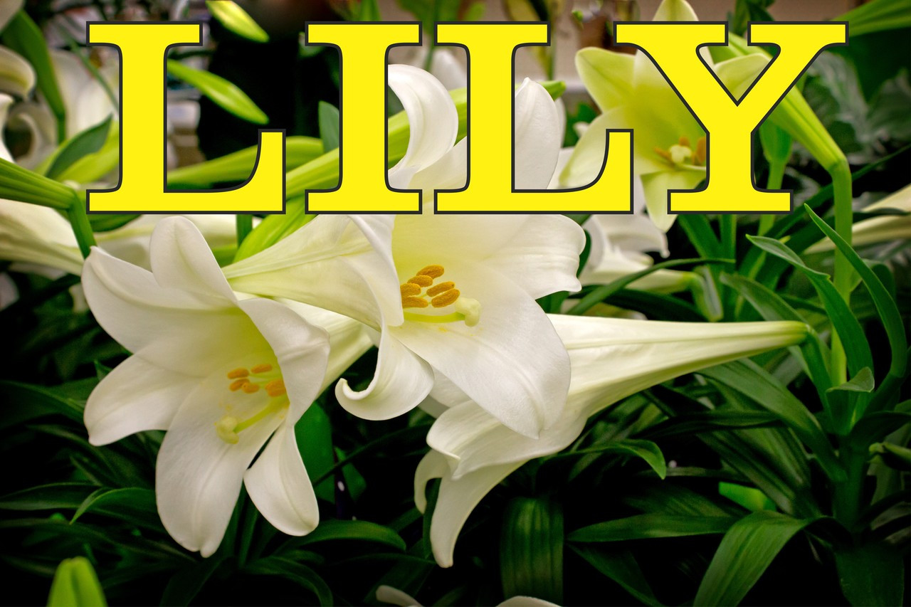 Colorful Lily Banner will Get You Noticed.