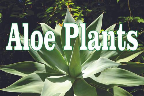 Nice looking aloe plants banner always gets noticed.