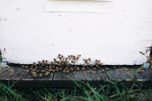 Beehive Complete with Bees - 10 Frame Full Depth Beehive.