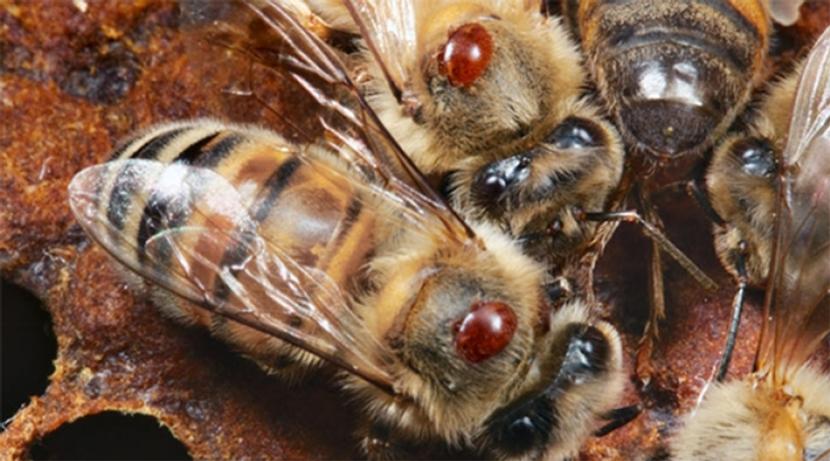 Varroa Managment