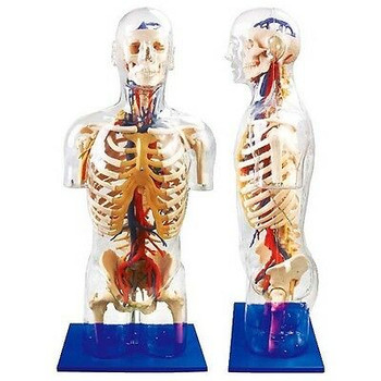 Human Body/Transparent Torso With Main Neural And Vascular Structures Model