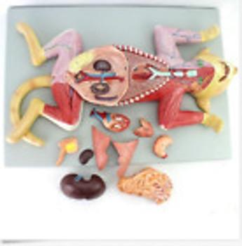 Feline Cat Anatomy Model Organs Heart Muscle Nerve Veterinary Study Animal Teach