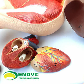 Pig Anatomy Model Pig Embryo Pig Organ Visceral Muscle Nerve Veterinary  Sj