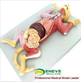 Cat Anatomical Model Pet Teaching Animal Map M