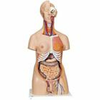 New Scientific 24 Part Deluxe Dual Gender Human Torso Model Teaching Top Quality