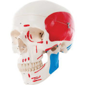 3B ® Anatomical Model - Classic Skull, 3-Part Painted
