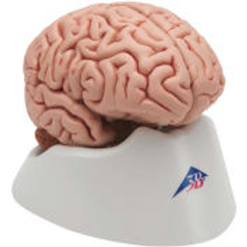 3B?« Anatomical Model - Classic Brain, 5-Part