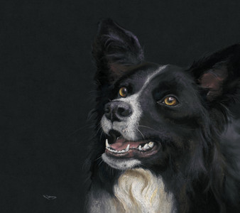 Border Collie artwork by Kay Johns