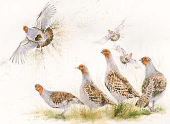 Grey Partridge artwork by Kay Johns