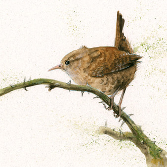 Wren painting by Kay Johns