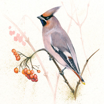 Waxwing, bird original artwork by Kay Johns