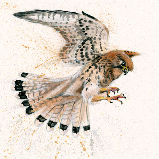 Kestrel painting by Kay Johns