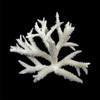 Staghorn Coral (Acropora Nobilis)