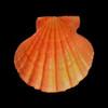 Orange Lions Paw / Pecten Subnodosus Set of 3
